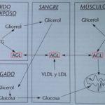Actividad Física Óptima para la Composición Corporal (Parte 2)